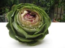 Raw globe artichoke with trimmed off top third