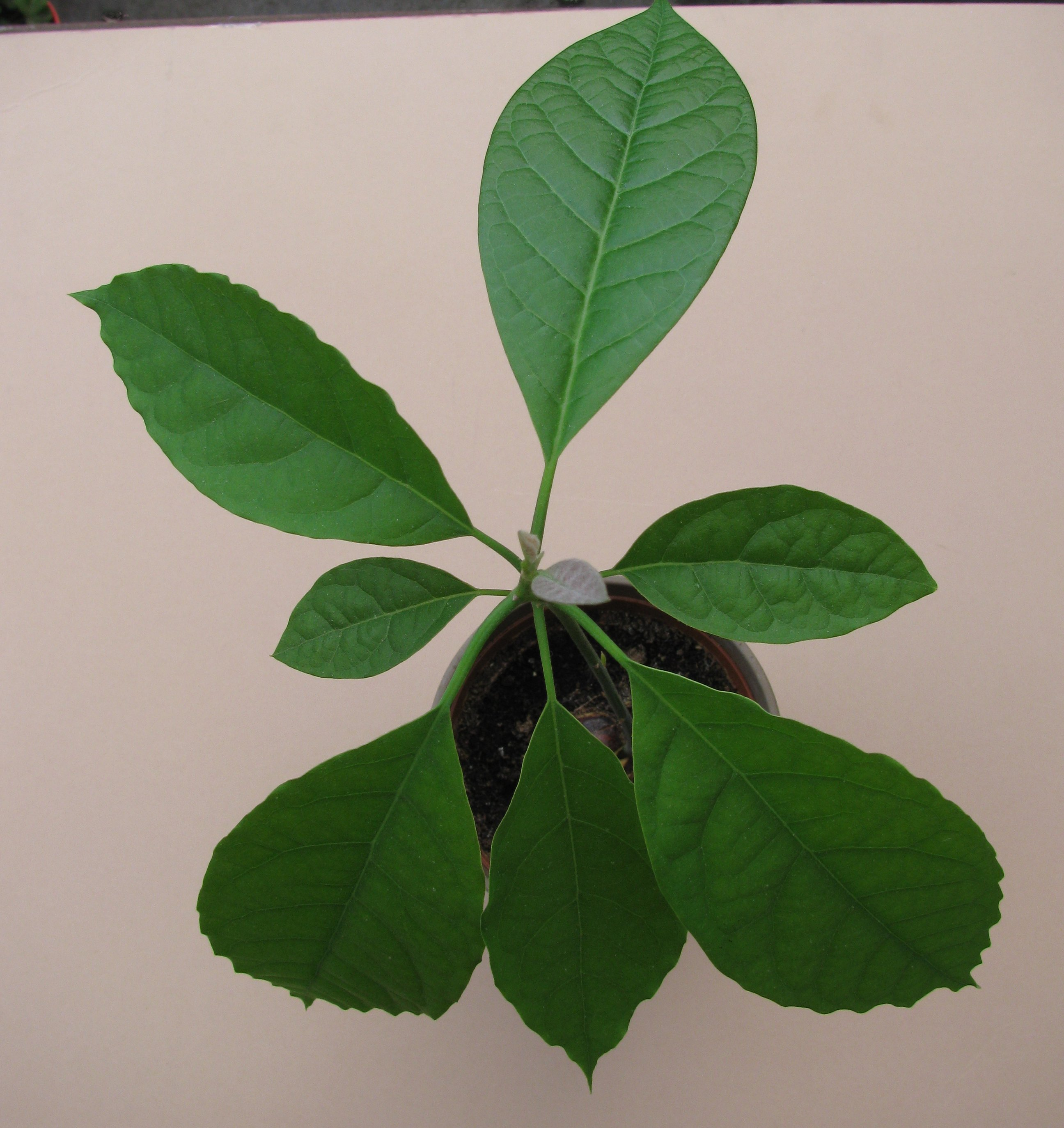 How to grow an avocado plant from a seed red darter for Grow your own avocado tree from seed