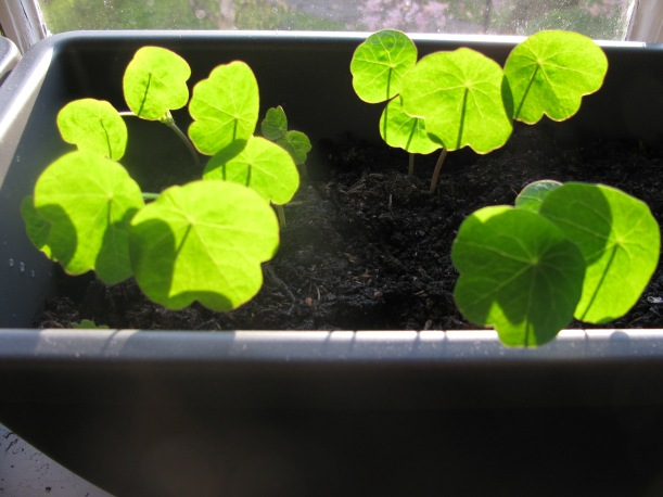 Indian cress seedlings