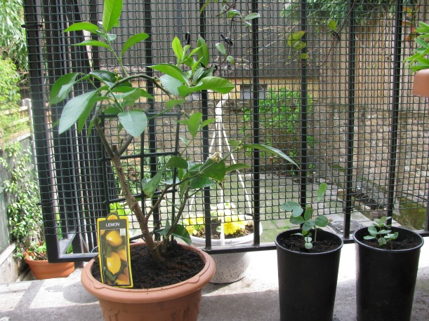 Lemon and carob plants