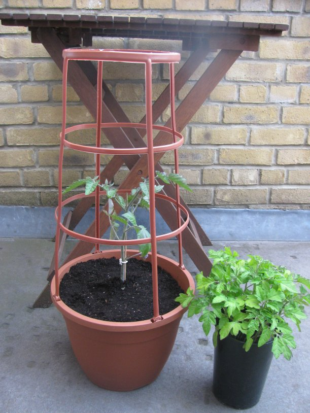 Tomato seedling in tomato cage planter