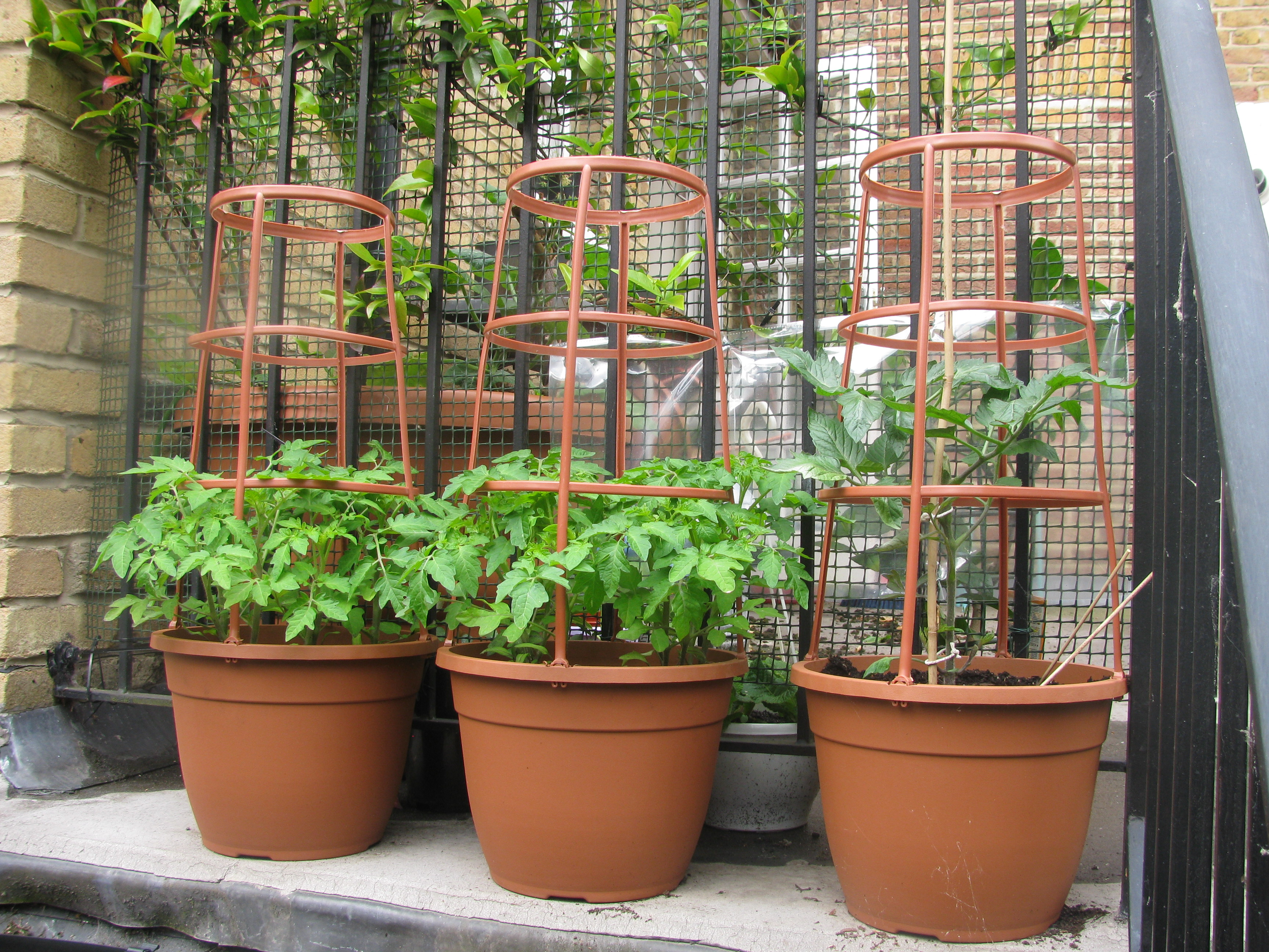 How Tomatoes Grow From Seeds To Bearing Fruit Red Darter