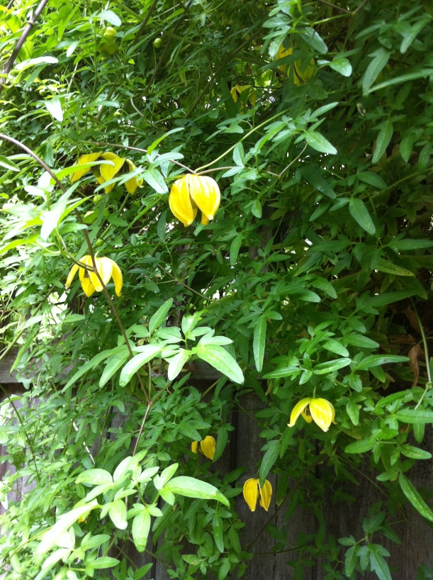 Yellow flowering climber