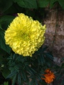 Double African Marigold